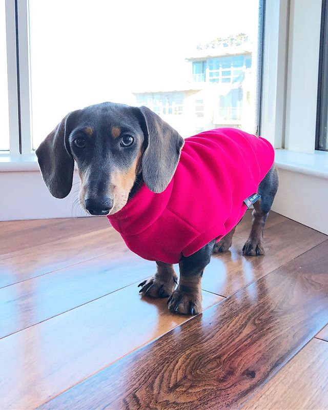 The @equafleece for #Dachshunds has got to be one of the best accessories - even if they only had the 'Soft Fuschia' colour in stock for the little guy... 🐶  #BonoTheBlue #Daxie #MillenialPink #equafleece #PinkToMakeTheSausageLassesWink