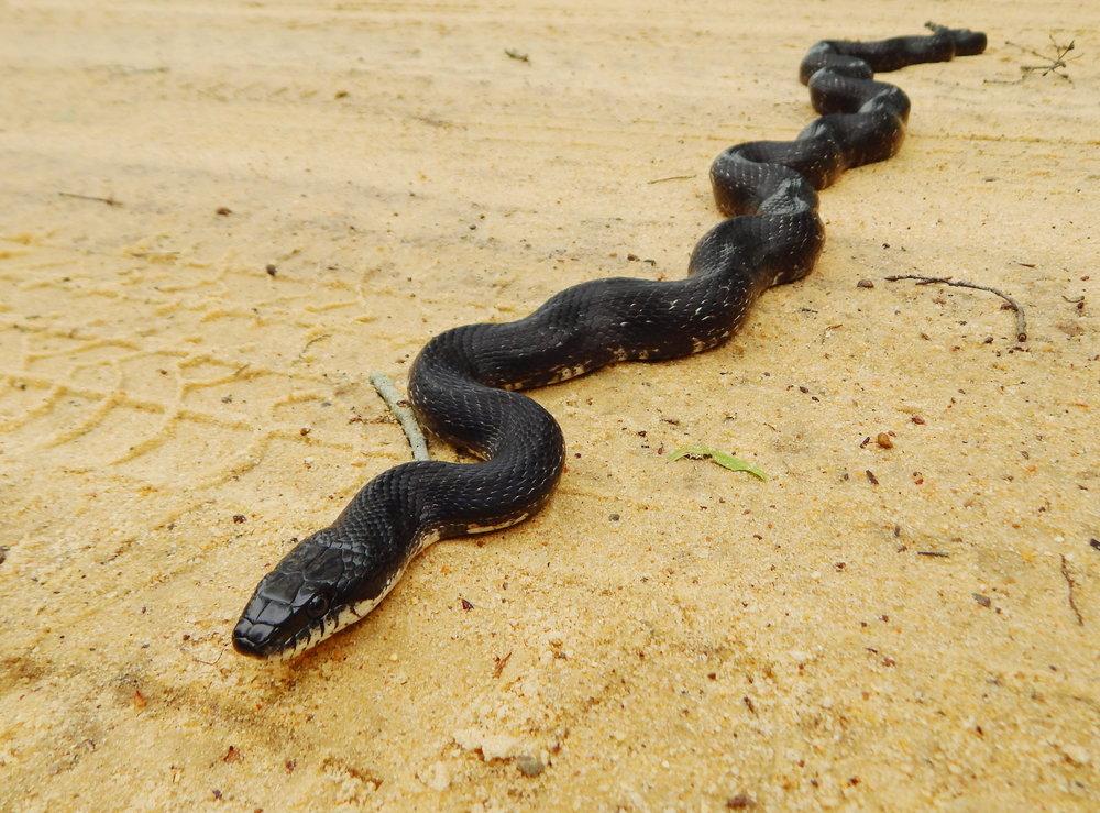 Eastern Ratsnake (non-venomous). Photo: Matt Moore