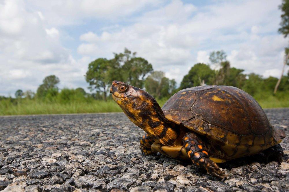 Eastern Box Turtle. Photo: Kevin Stohlgren