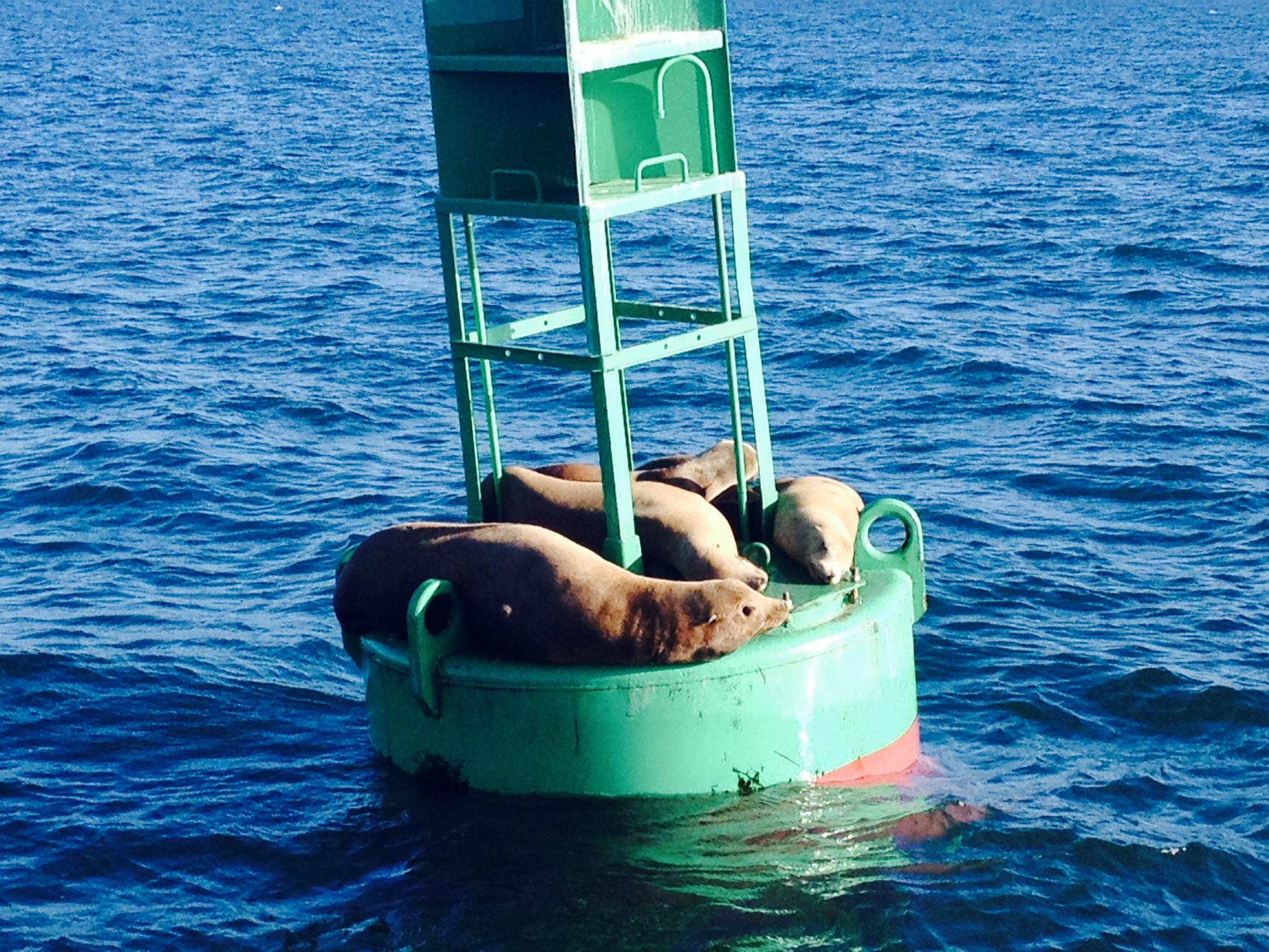 Sea Lions1