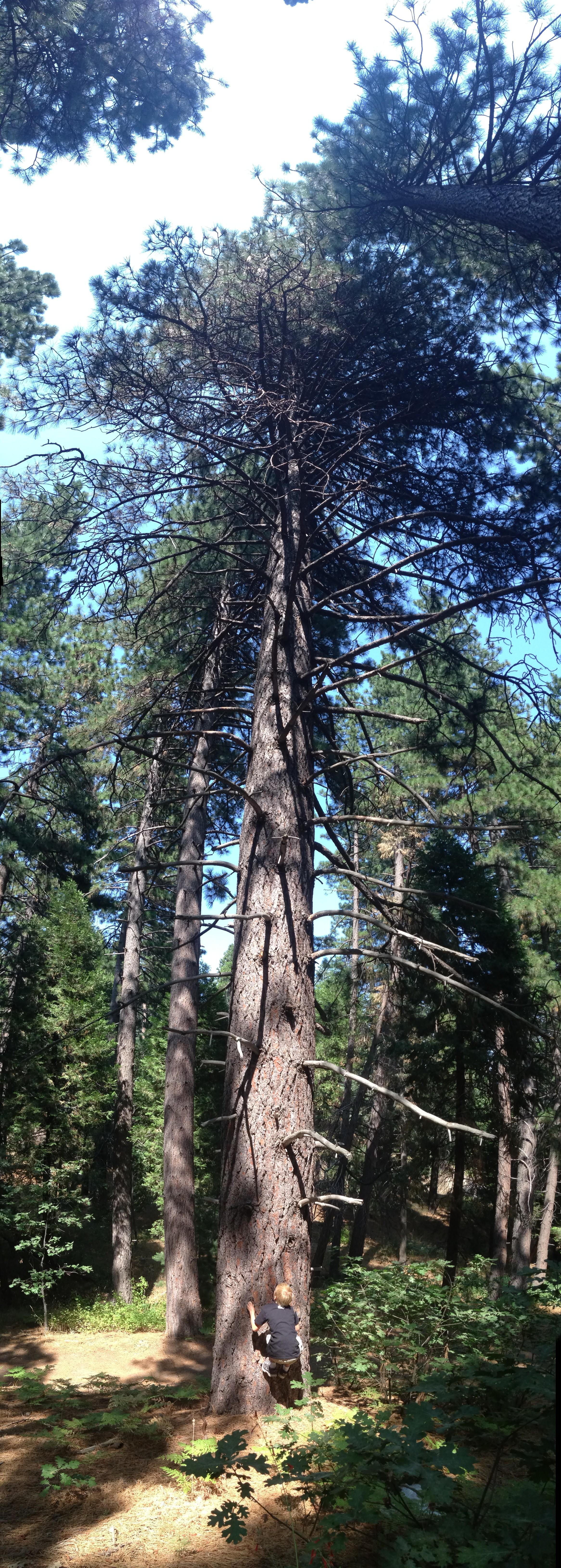 Twin Peaks Tree