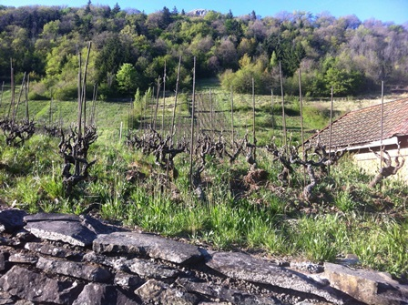 vines-at-bellu.jpg
