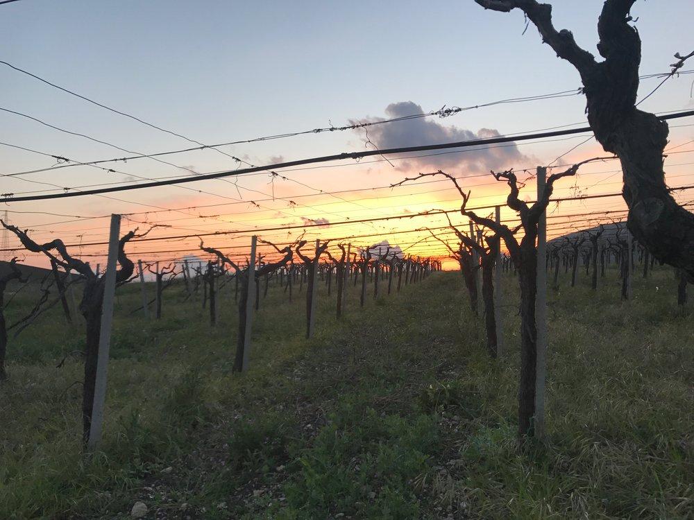 Guccione Vineyards.jpg