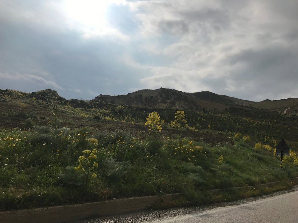 Wild fennel covering the roadside in Sicily.jpg