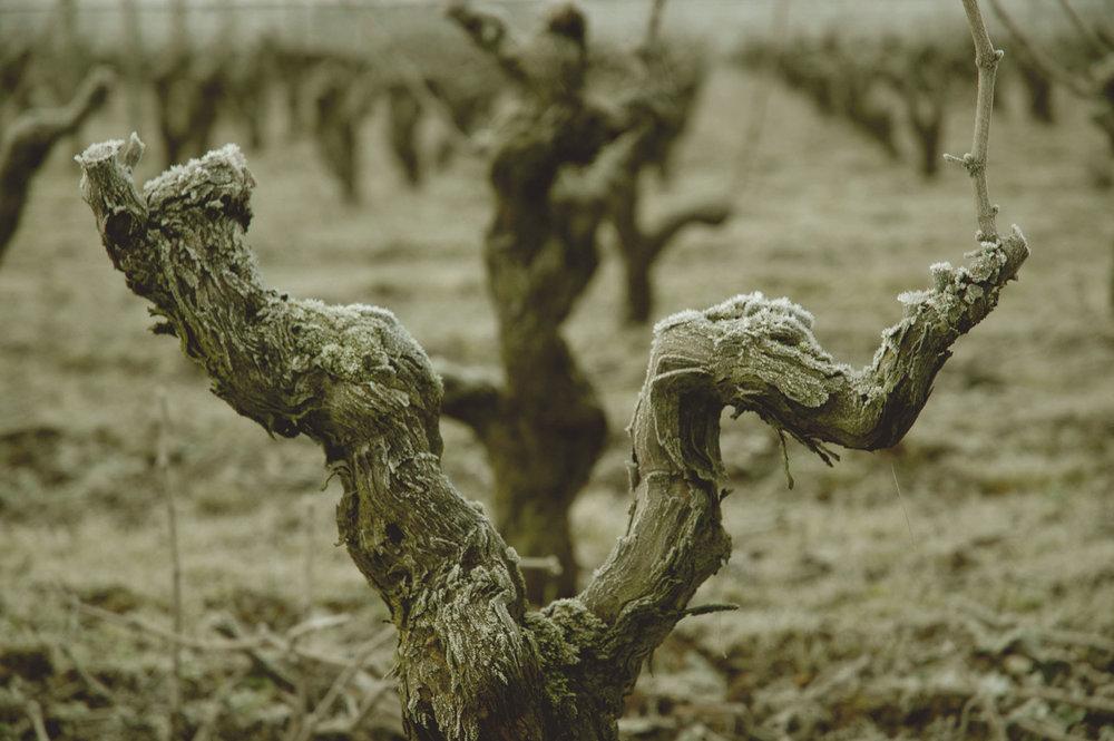 cep-de-vigne.jpg