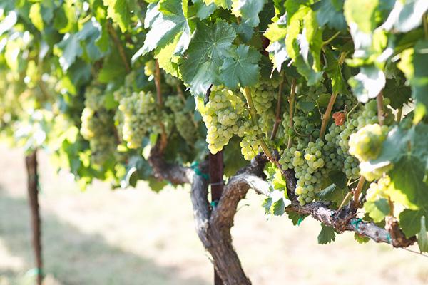 Vines_Ledgewood-Grenache-Blanc.jpg