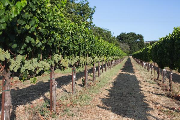 Vines_Ledgewood-Vineyard.jpg