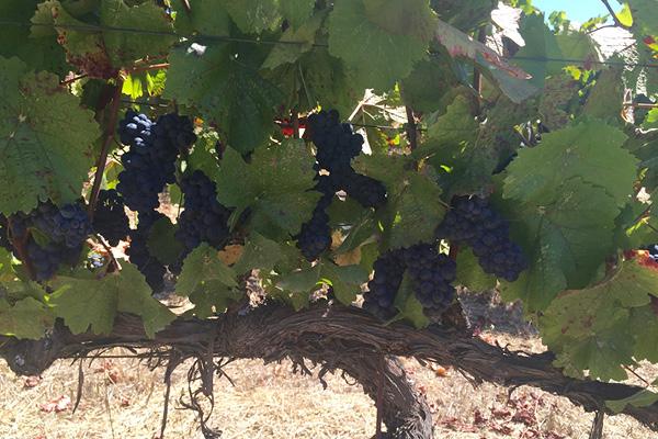 Vines_Cerise-Pinot.jpg