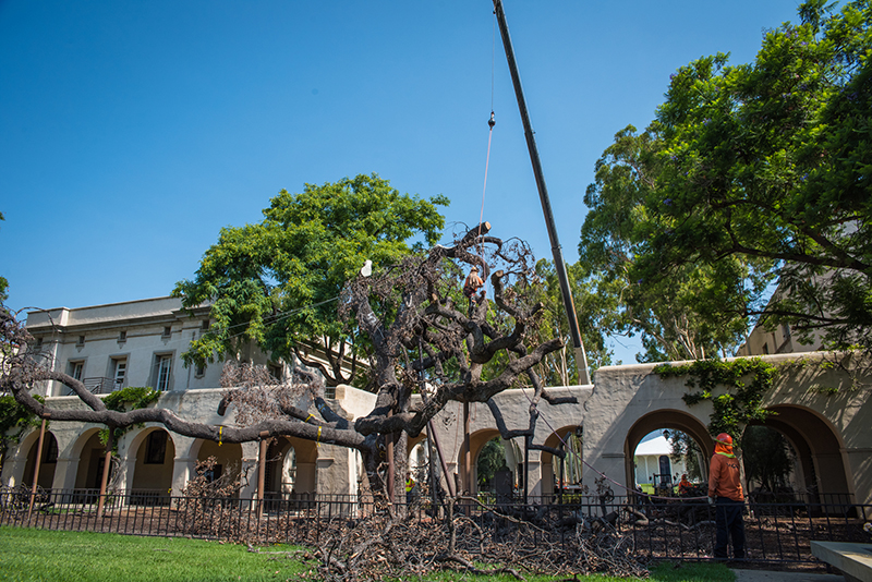 On July 11, workers dissected Caltech's 400-year-old Engelmann oak, which died last year. Portions of the tree were salvaged for research and other uses.