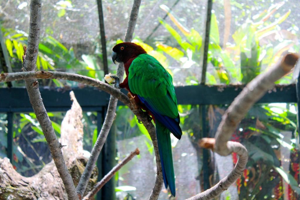 Fijian Musk Parrot