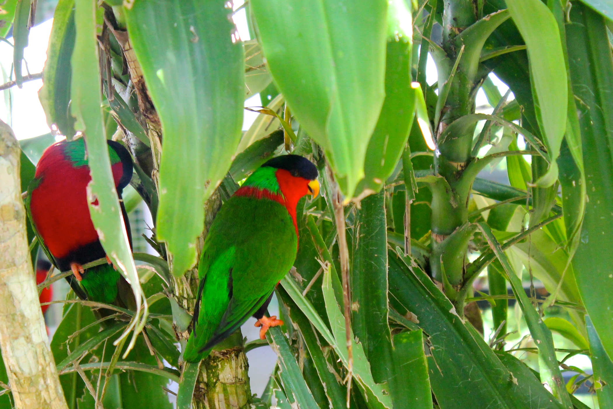 Kula birds