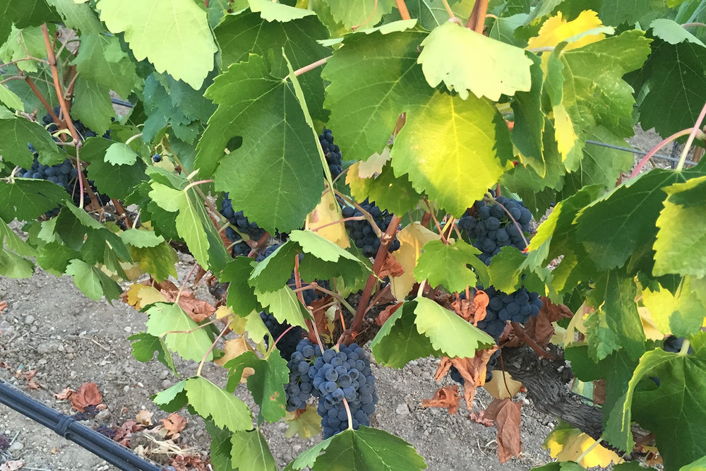 Grapes-Vineyard.jpg