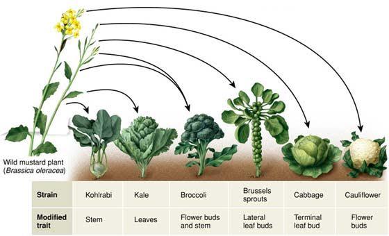 The selective breeding of wild mustard plant.