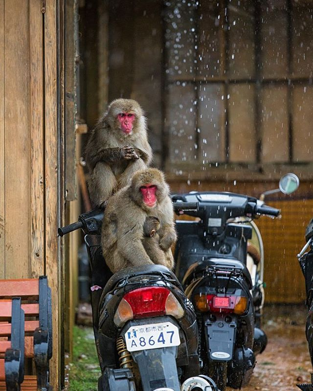 At Arashiyama's peak, red-faced Japanese macaques have the run of the place. Not even motorcycles are safe here. /// #plethoraetc _______________________________________________ . . . . .  #animallovers #animalpolis #animalsofinstagram #igscwildlife #animales #exclusive_animals #wildlifephoto #wildlifeaddicts #wildlifephotography #instapassport #aroundtheworldpix #ig_masterpiece #campinassp #flashesofdelight #travelog #visualmobs #theglobewanderer #forahappymoment #exploringtheglobe #igersjp #icu_japan #ig_japan #canonphotos #canoneos #canonphotographer #macaque #iwatayama #kyoto #arashiyama