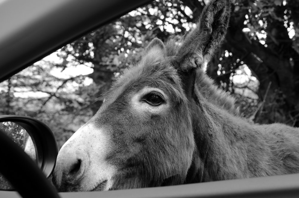 Discovering a Donegal donkey