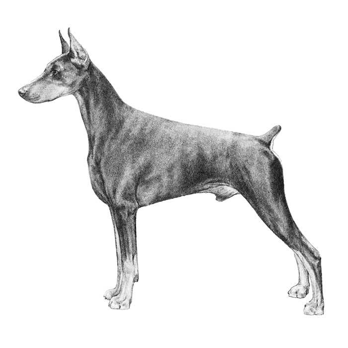 Photo Credit: American Kennel Club. (2017).Doberman pinscher, working group.Retrieved from http://www.akc.org/dog-breeds/doberman-pinscher/