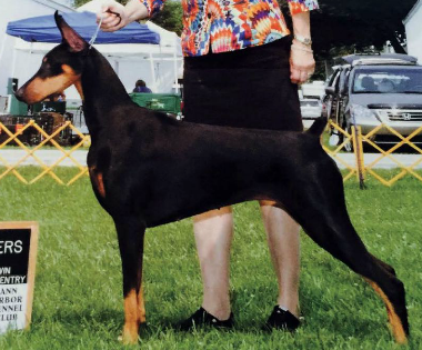 """Duchess"" Photo Credit: The Doberman Digest. (2015, September/October). p. 145 Retrieved from http://www.thedobermandigest.com/2015_09/"