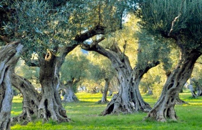 Wanderlust-Travel-blog-Southern-Italy-Puglia-olive-trees