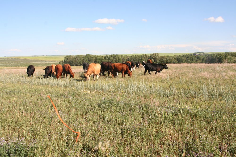 Our cows grazing a paddock this past summer.