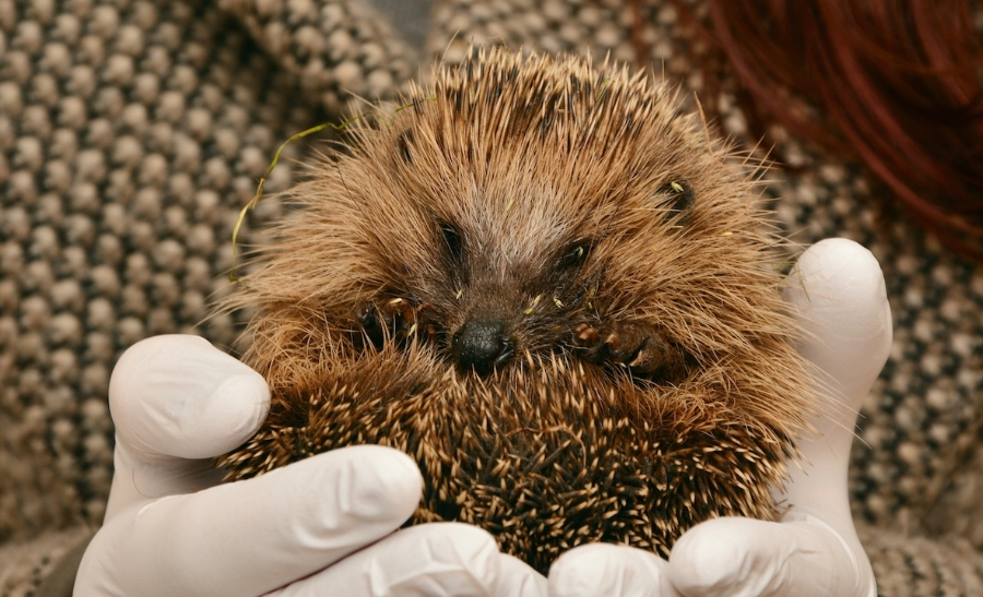 One in three of all British hedgehogs have been lost since the year 2000.