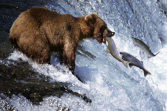 bear-salmon