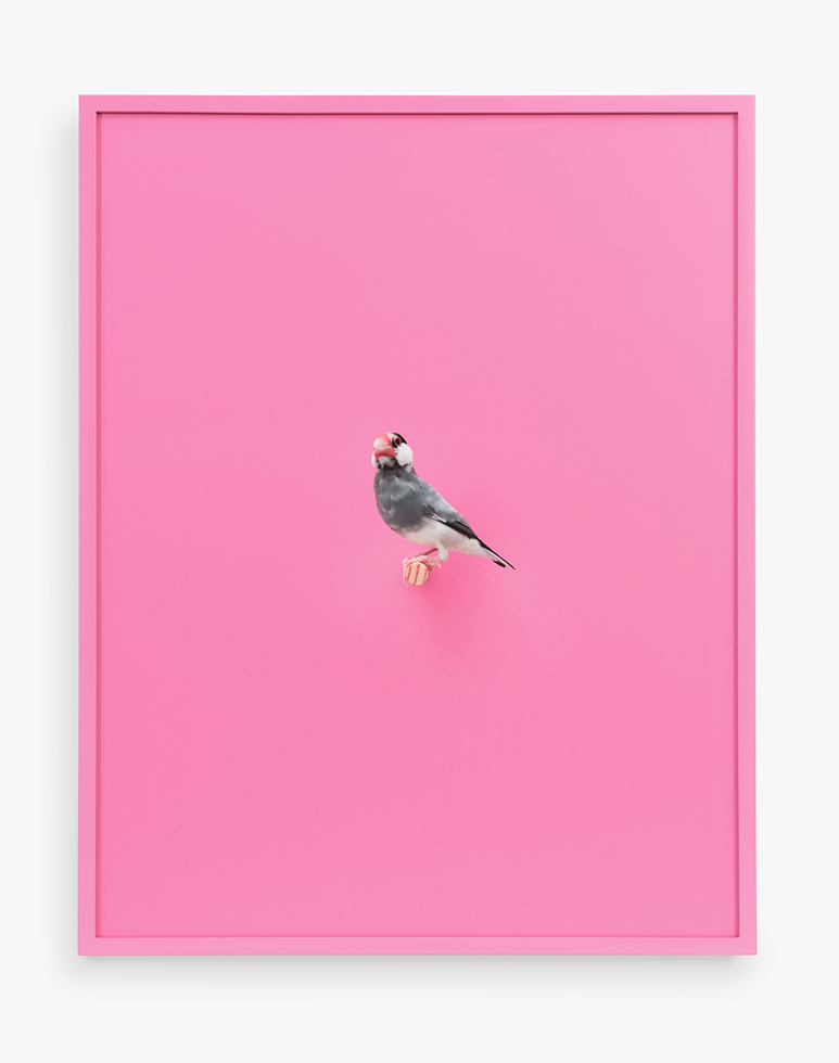 Daniel Handal  Java Rice Finch (Bubble Gum) , 2016 Signed, titled, dated, and numbered on label, verso Archival pigment print, painted frame (Edition of 3 + 2 APs) 19 x 15 inches Clamp Art