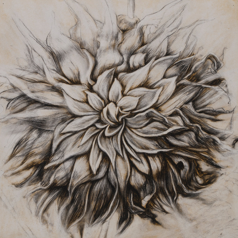 "Winter Dahlia"", Conte crayon, gouache & liquid acrylic paint on paper-SOLD"