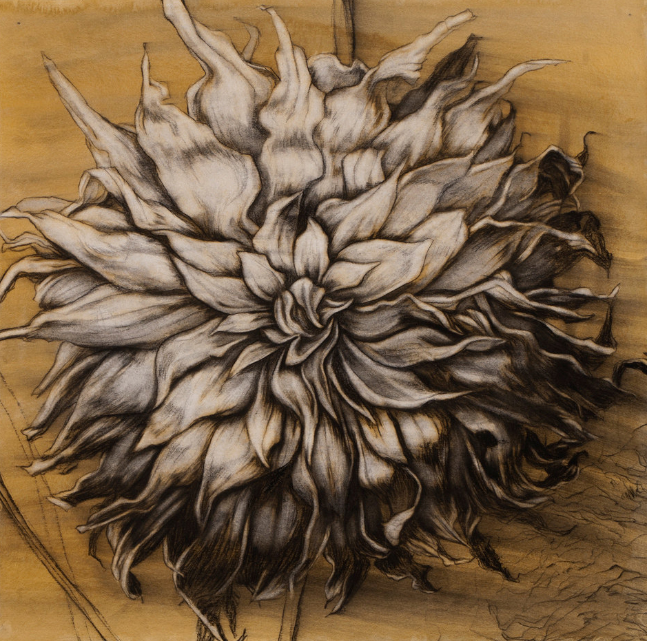 """Fall Dahlia III"", Conte crayon and gouache on cotton paper, 22""x22"" -SOLD"