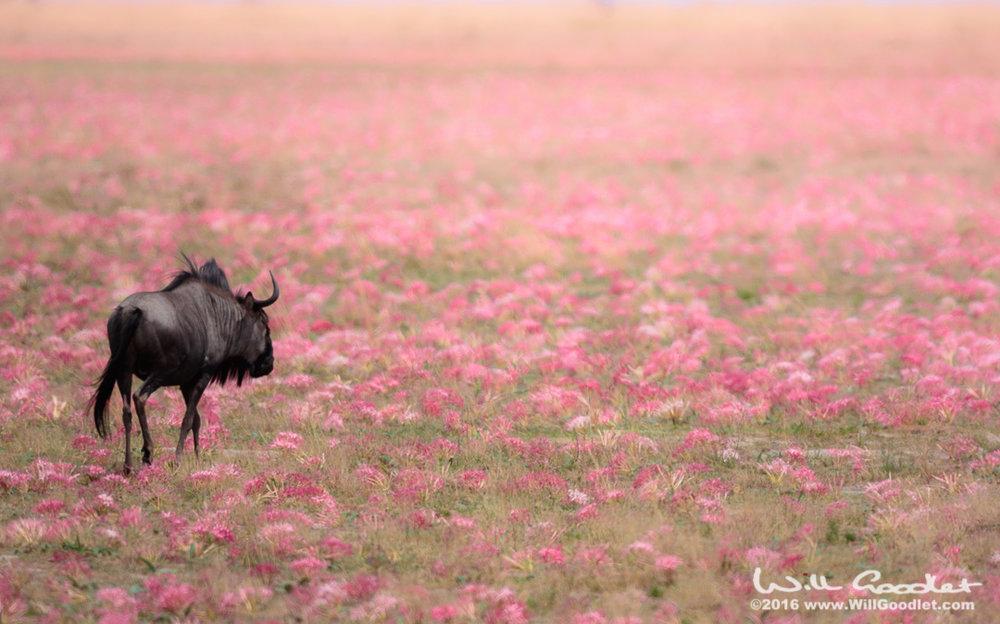 Wandering wildebeest