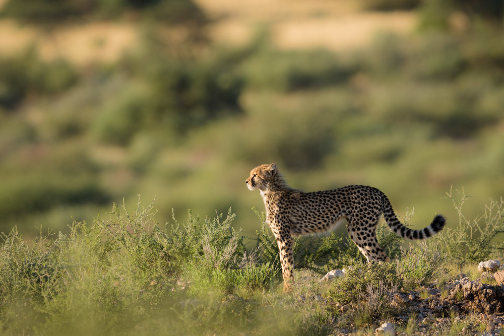 Young cheetah on a hill