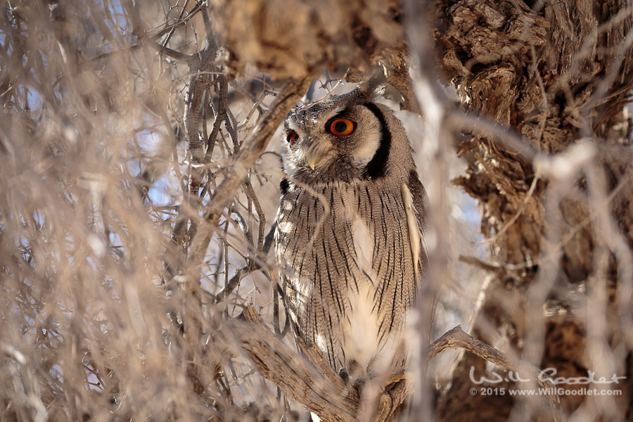 An owl hides deep in a camel thorn tree