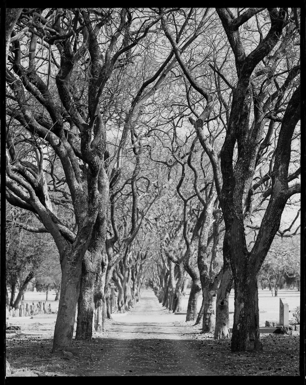 Jacaranda Trees in winter Mamiya RZ 67 Pro ii + 110mm Lens Ilford Delta 100