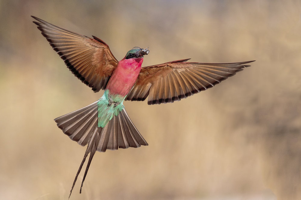 Carmine Bee-eater in flight