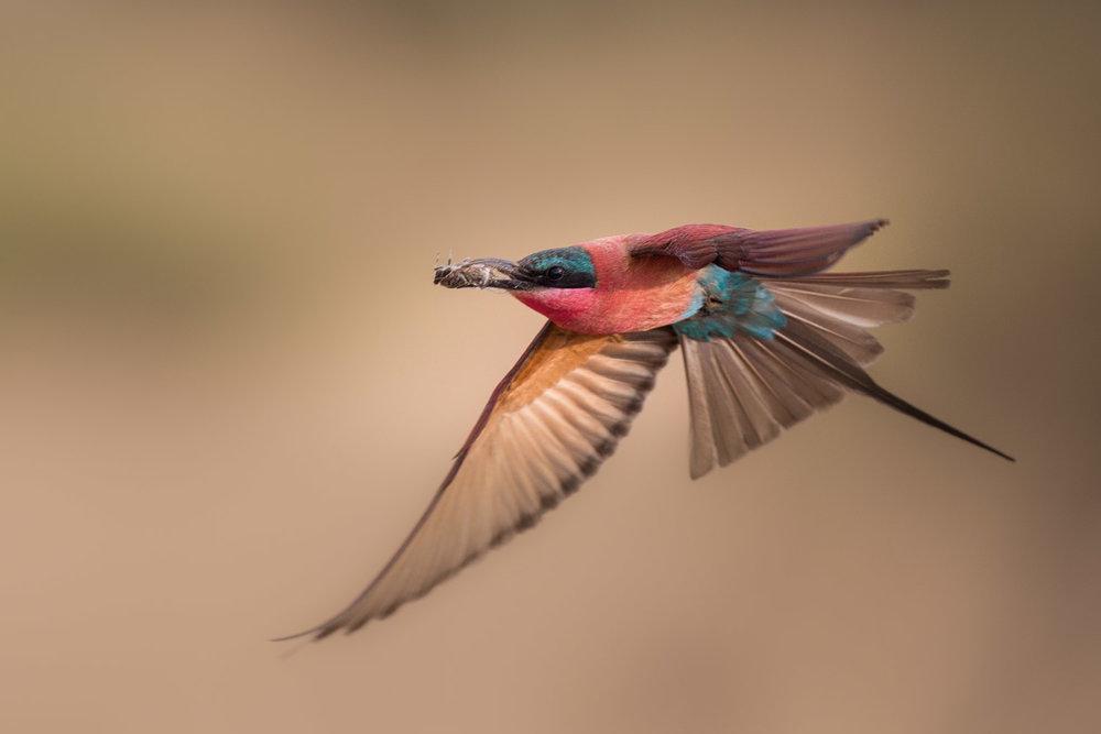 Carmine in flight 02