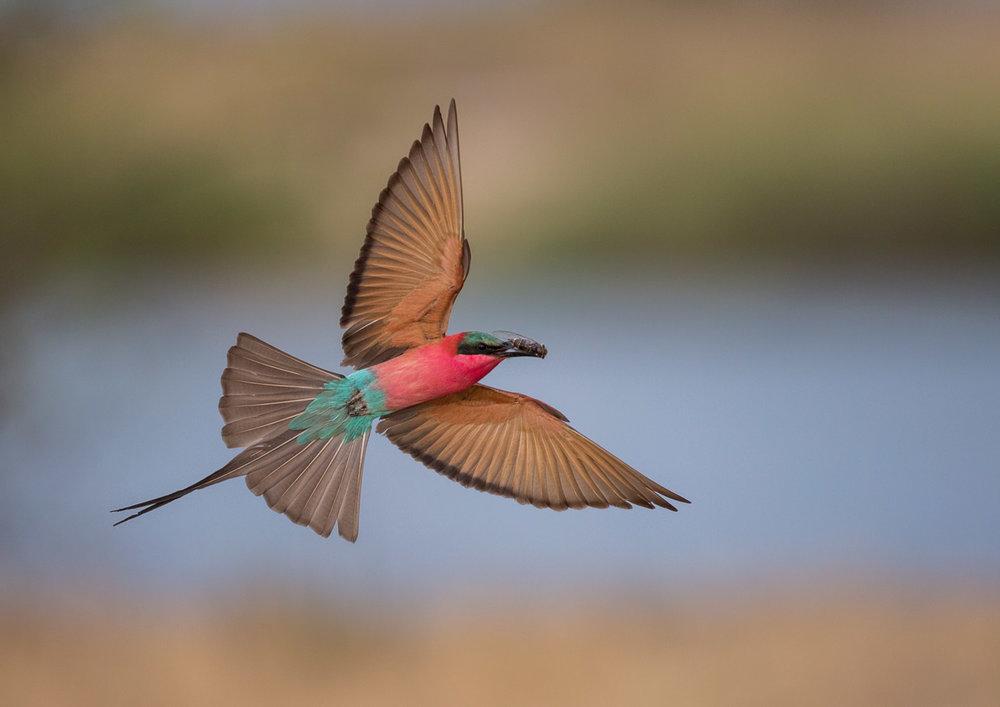 Carmine in flight 03