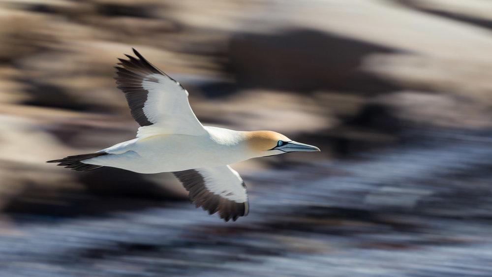 Cape Gannet in motion