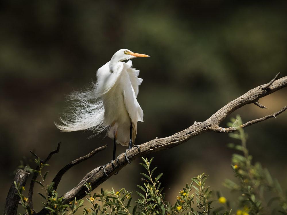 Yellow-billed egret 02