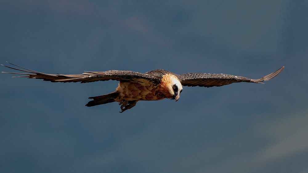 Bearded Vulture Juvenile