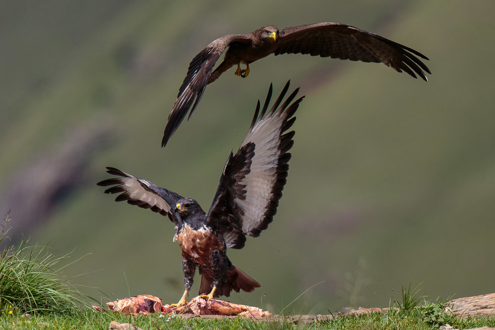 Jackal Buzzard & Kite