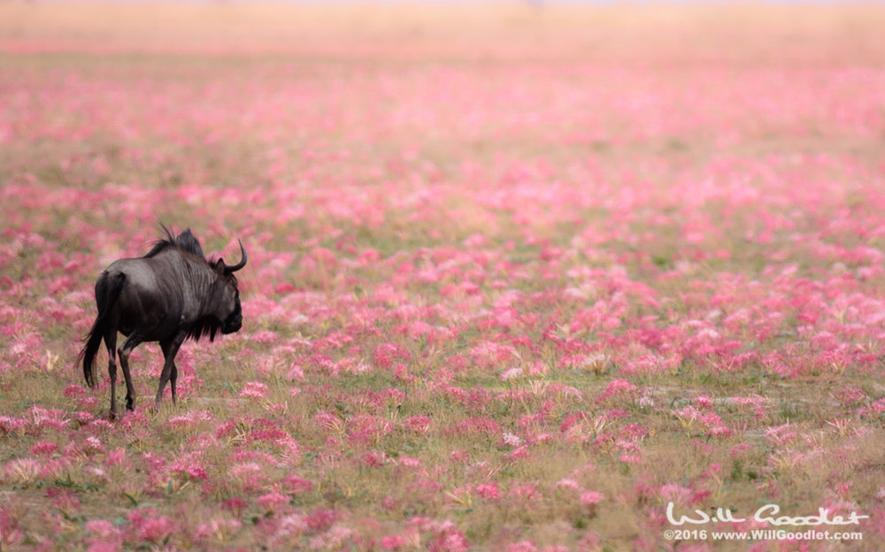 Wildebeest amongst Lilies, Liuwa Plains, Zambia.