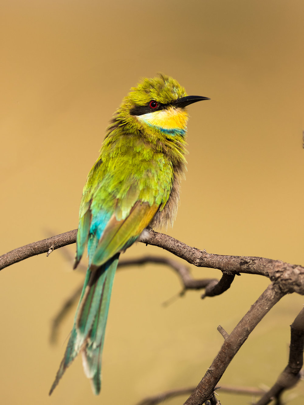 Click to enlarge - Swallow-tailed Bee-eater, Kgalagadi Transfrontier Park, South Africa.
