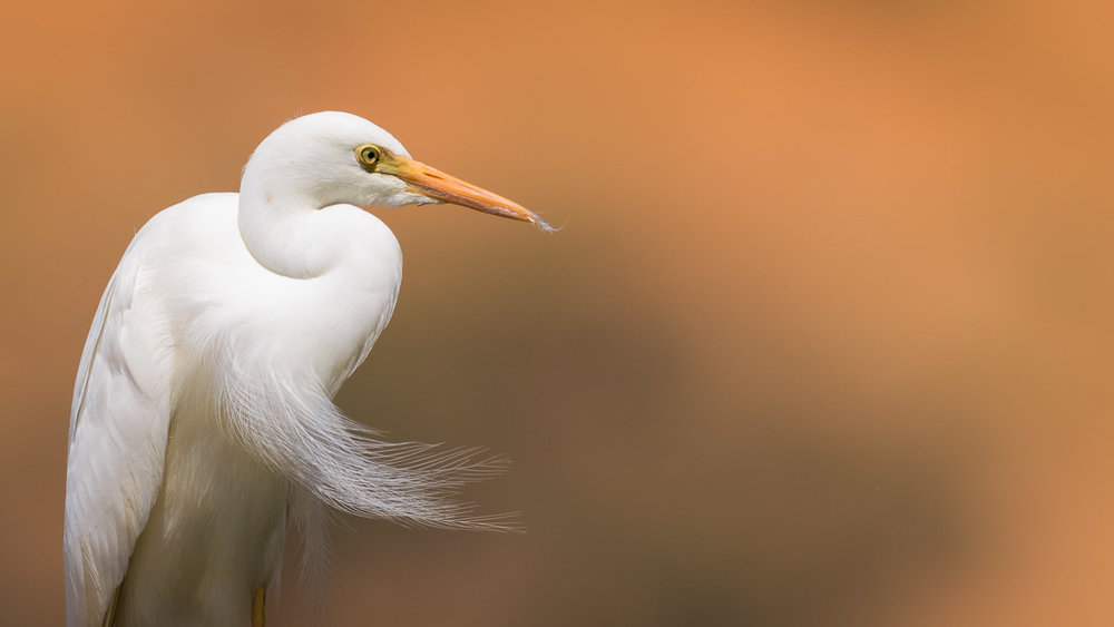 Click to enlarge - Yellow-billed egret photographed at Kij Kij in the Kgalagadi Transfrontier Park