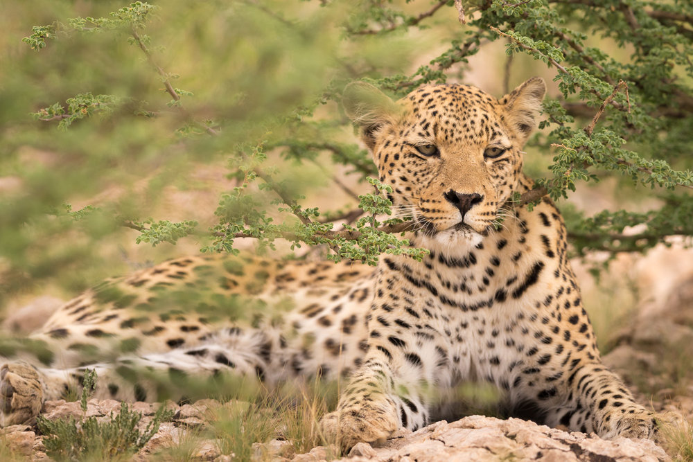 Click to enlarge - Resting female Leopard, Kgalagadi Transfrontier Park, South Africa.
