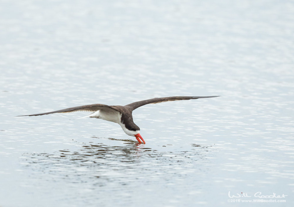 African Skimmer flying low over the still waters of the Zambezi