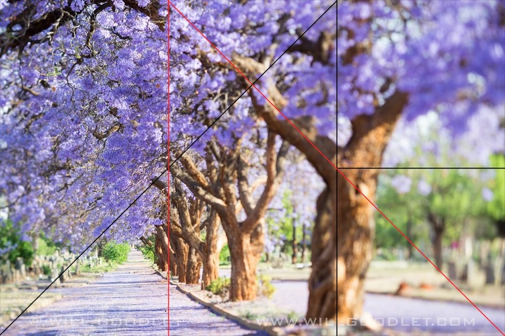 Jacarandas trees in flower, Will Goodlet.