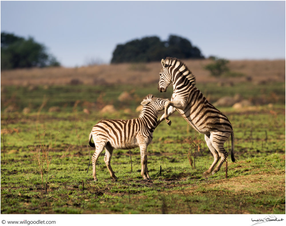 Two Zebra get stuck into each-other in dramatic light, Rietvlei Nature Reserve, South Africa