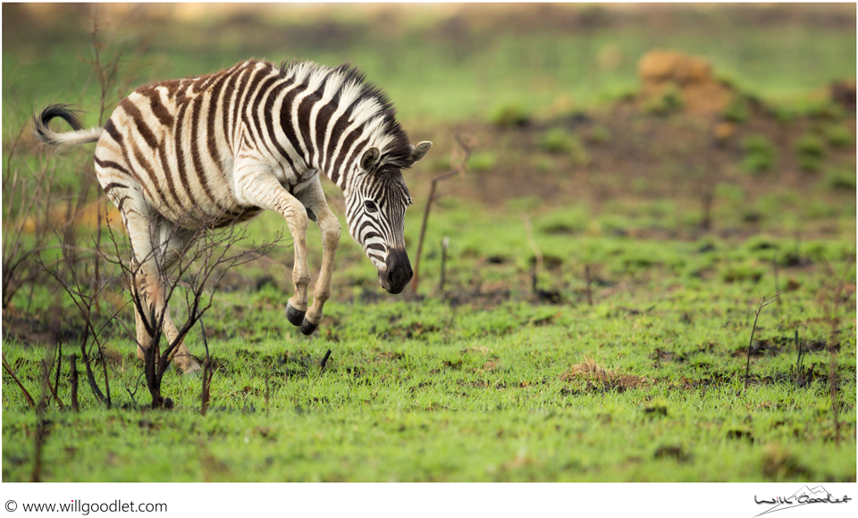 Excitement is palpable as the rain and fresh grass bring the Zebra closer together to feed.