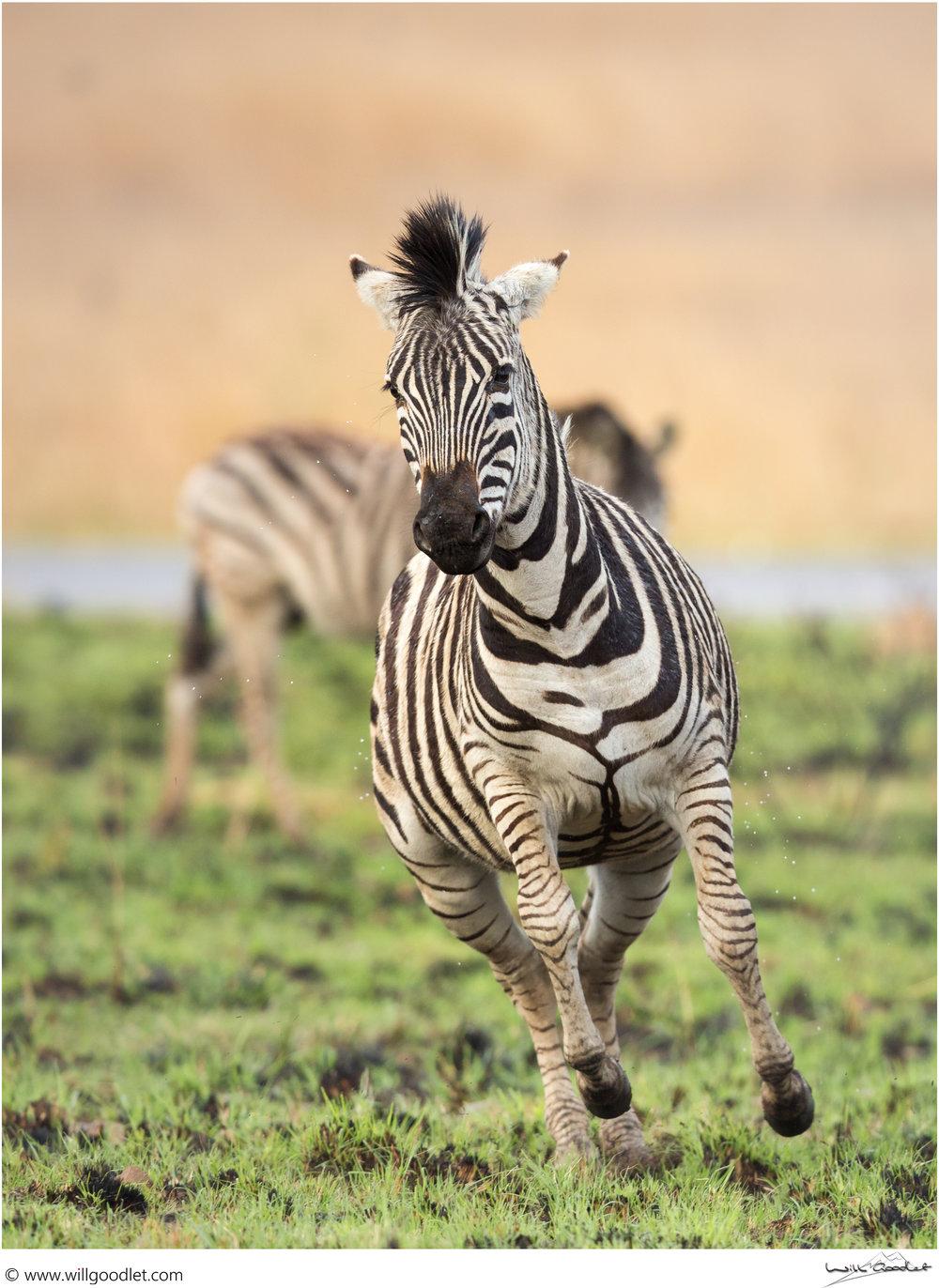 Zebra running off steam, Rietvlei Nature Reserve, South Africa.