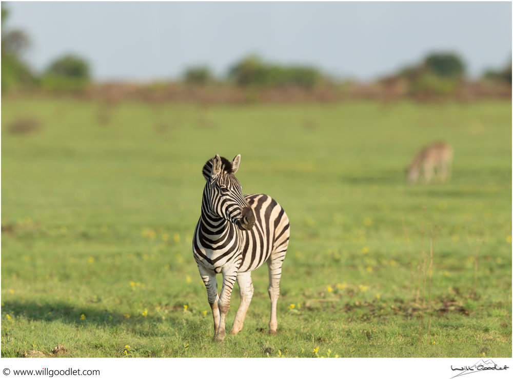 This beautiful Zebra posed long enough for 8 shots which are all stitched together to create the creamy background and spectacular detail in this Panorama. Rietvlei Nature Reserve, South Africa.