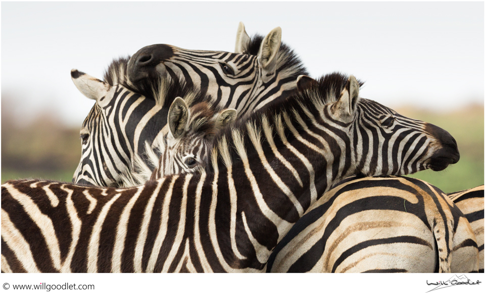 Group Hug, Zebras huddle together at Rietvlei Nature Reserve, South Africa.